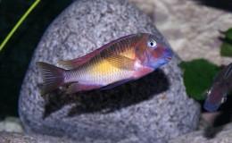 Tropheus moorii Kasanga red rainbow