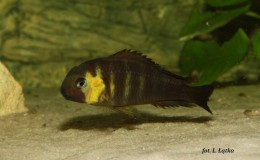 Tropheus Brichardi Kabimba canary cheek