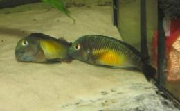 Tropheus moorii Kalambo