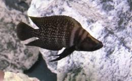 Altolamprologus Calvus Black Pectoral2