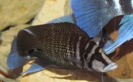 Altolamprologus calvus Black Pectoral3