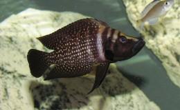 Altolamprologus calvus Black Pectoral4