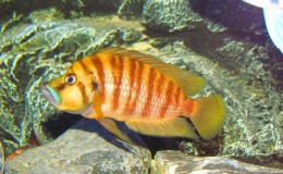 Altolamprologus compressiceps Gold