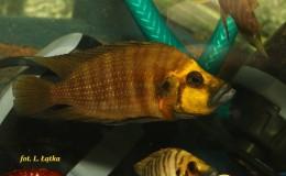 Altolamprologus compressiceps Gold Head Kasanga