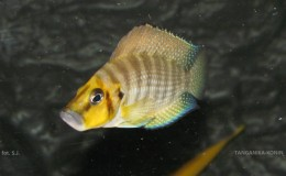 Altolamprologus compressiceps Gold Head Muzi