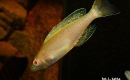 Cyprichromis leptosoma jumbo Kitumba Albino2