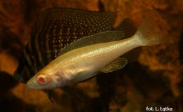 Cyprichromis leptosoma jumbo Kitumba Albino3
