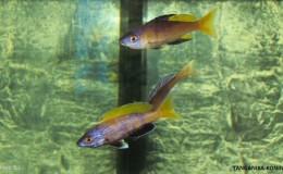 Cyprichromis leptosoma jumbo Kitumba3