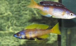 Cyprichromis leptosoma jumbo Kitumba4