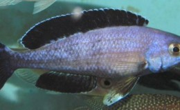 Cyprichromis leptosoma jumbo Speckleback Moba