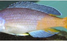 Cyprichromis leptosoma jumbo Speckleback Moba1