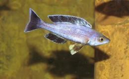 Cyprichromis leptosoma jumbo Speckleback Moba2