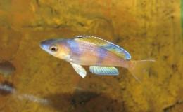 Cyprichromis leptosoma jumbo Speckleback Moba3