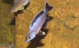 Cyprichromis leptosoma jumbo Speckleback Moba4