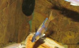 Cyprichromis leptosoma jumbo Speckleback Moba5