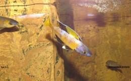 Cyprichromis leptosoma jumbo Speckleback Moba7