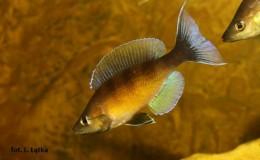 Cyprichromis zonatus Chituta2
