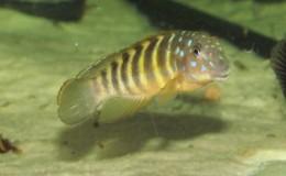 Eretmodus cyanostictus Mabilibili3