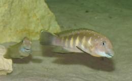 Eretmodus cyanostictus Tembwe