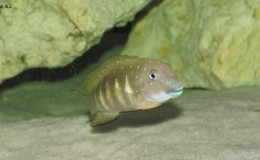Eretmodus cyanostictus Tembwe2