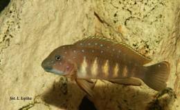 Eretmodus cyanostictus Tembwe3