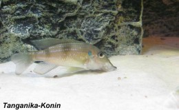 Gnathochromis permaxillaris2
