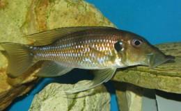 Gnathochromis permaxillaris3