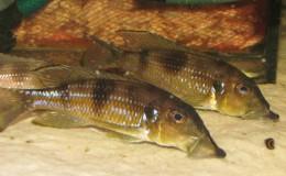 Gnathochromis permaxillaris4