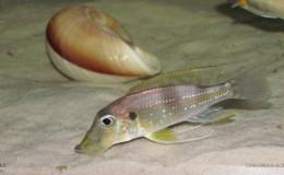 Gnathochromis permaxillaris5