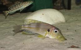 Gnathochromis permaxillaris6