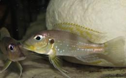 Gnathochromis permaxillaris7