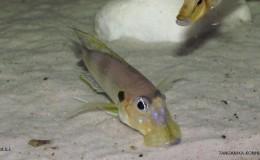 Gnathochromis permaxillaris8