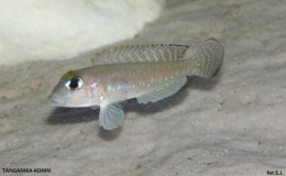 Lamprologus Ornatipinnis2