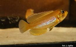 Lamprologus ocellatus gold2