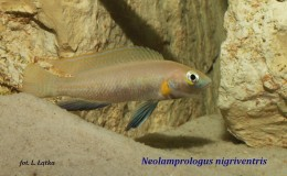 Neolamprologus nigriventris