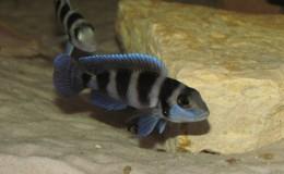 Neolamprologus tretocephalus2