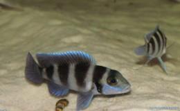 Neolamprologus tretocephalus3