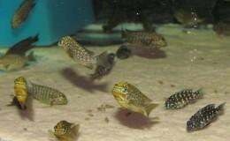 Petrochromis-trewavasae3