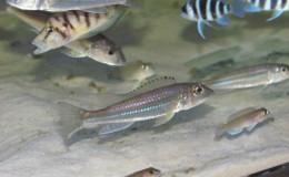 Reganochromis-Calliurus1