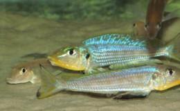 Xenotilapia Enantiopus melanogenys Kilesa3