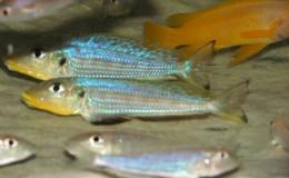 Xenotilapia Enantiopus melanogenys Kilesa4