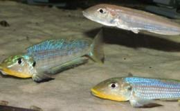 Xenotilapia Enantiopus melanogenys Kilesa5